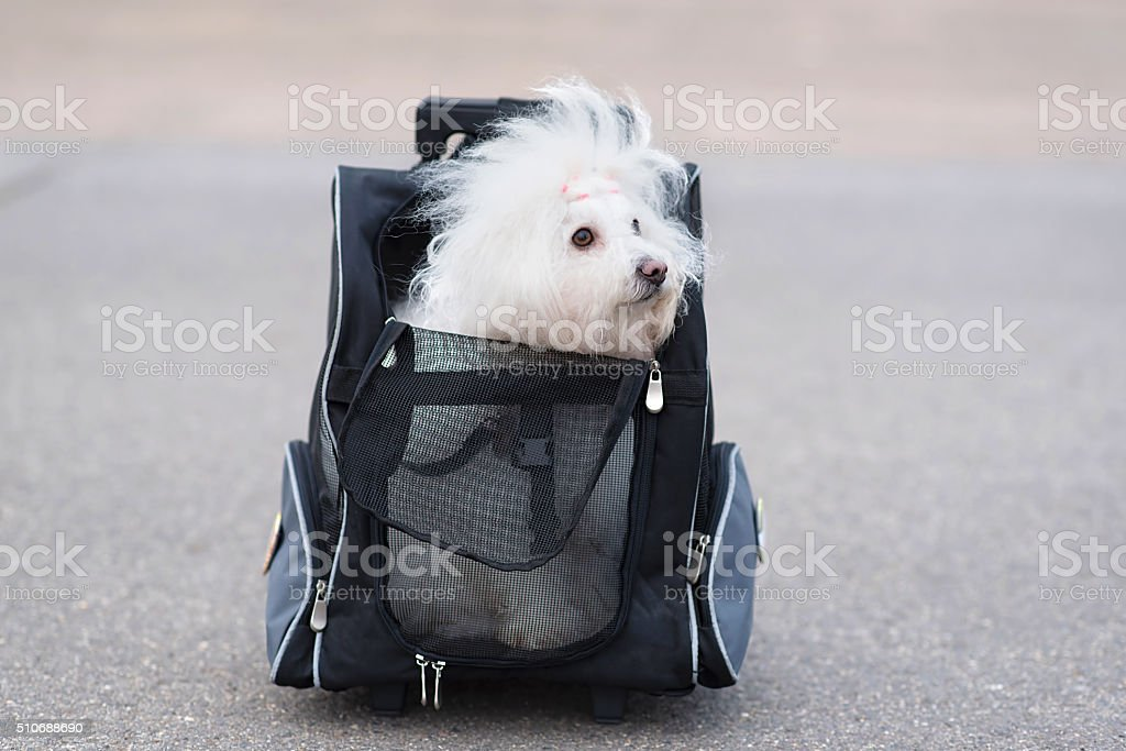 Bichon Havanese dog in bag stock photo