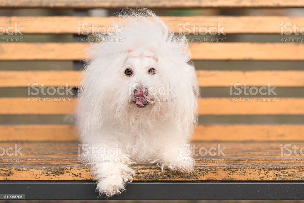 Bichon havanese dog on banch stock photo