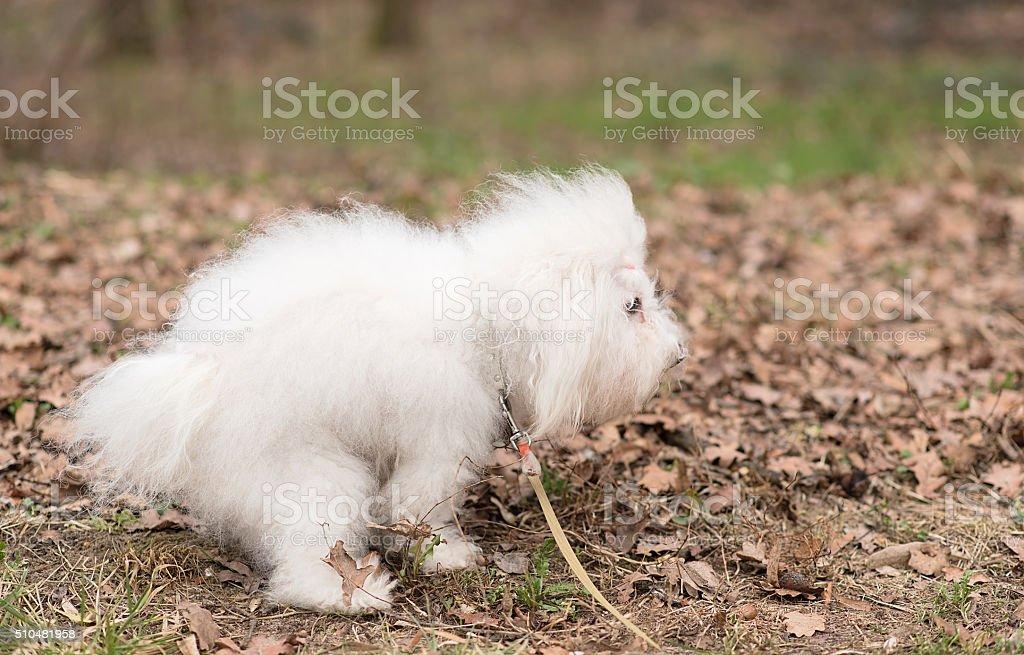 Bichon Havanese dog poops stock photo