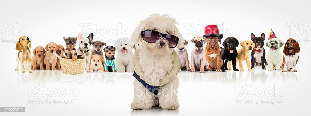 bichon wearing sunglasses sitting in front of dogs stock photo