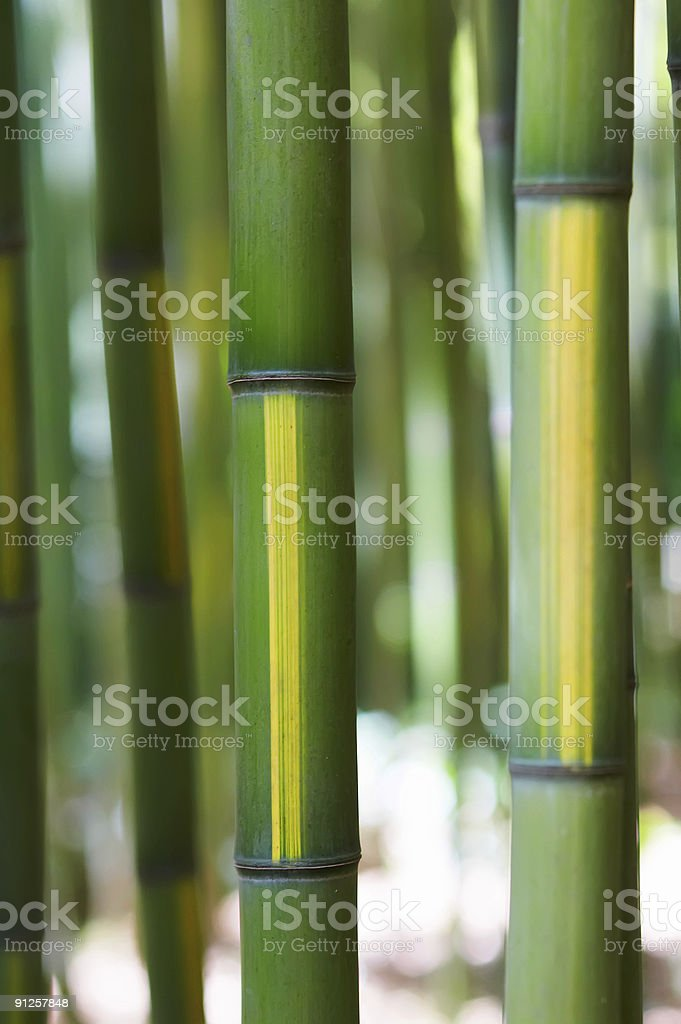 Bicolor Bamboo Cane royalty-free stock photo