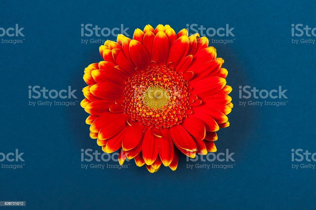 Bicolor red yellow gerbera daisy, on blue background stock photo