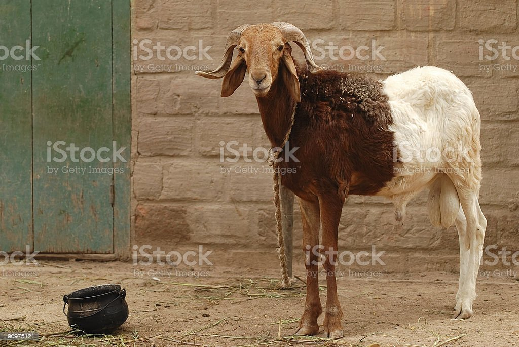 Bi-colored he-goat royalty-free stock photo