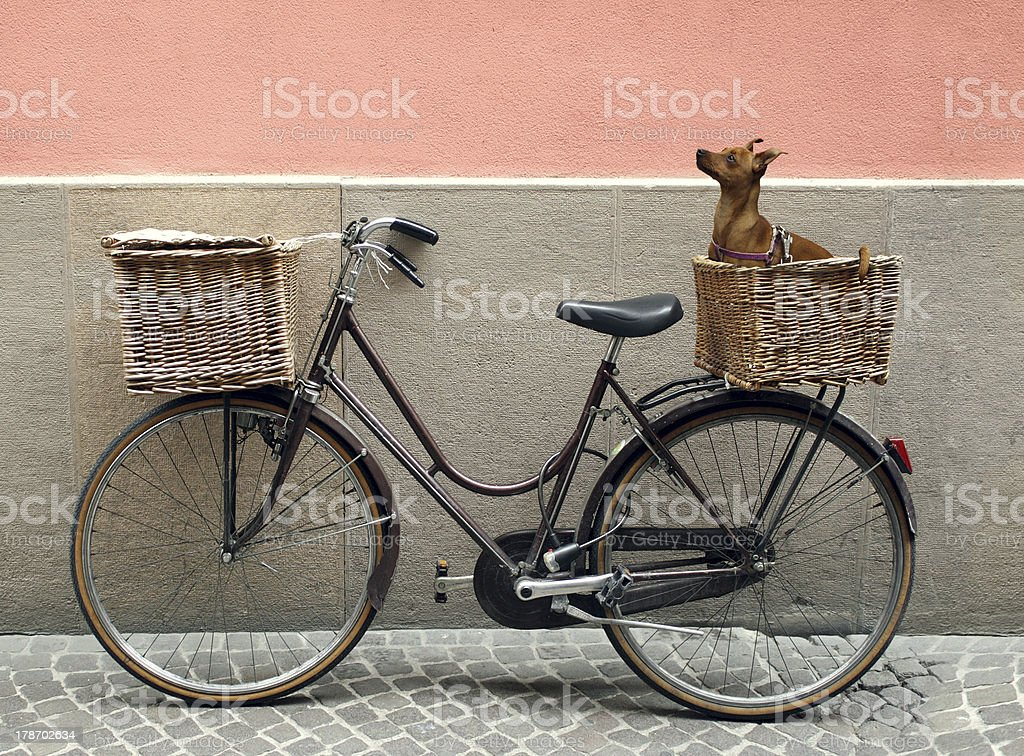 Bicycle and Chihuahua stock photo