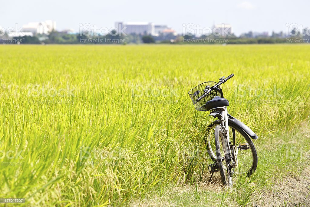 bicycle in rice field stock photo
