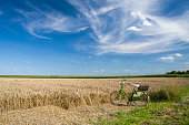 Bicycle in ripe wheat field under blue summer sky