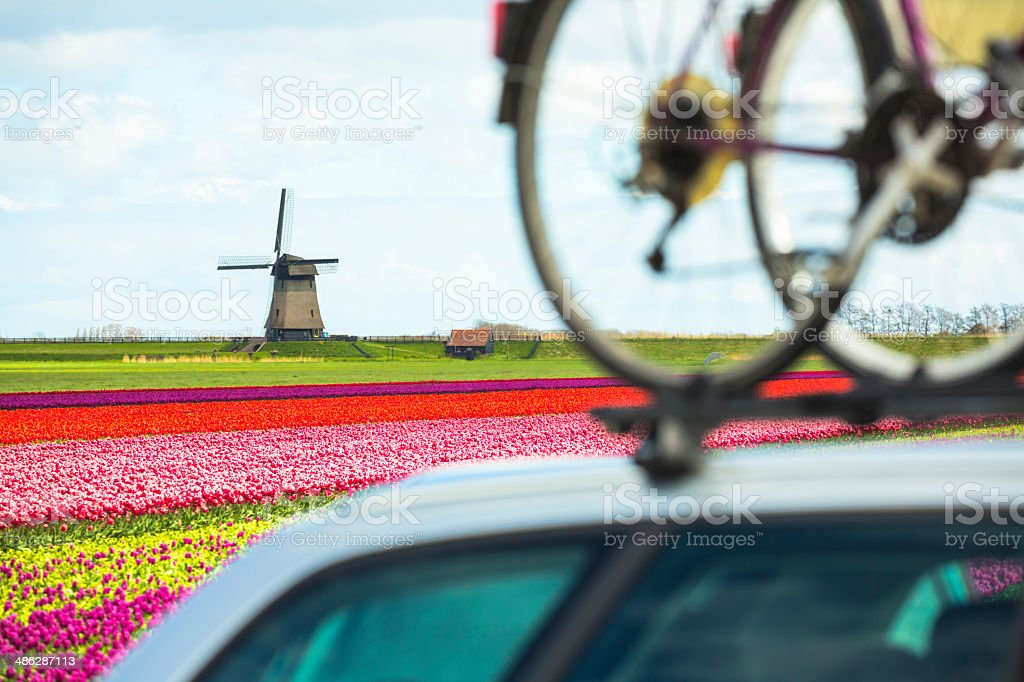 Bicycles mounted on car. Tulip field and windmill in background. stock photo