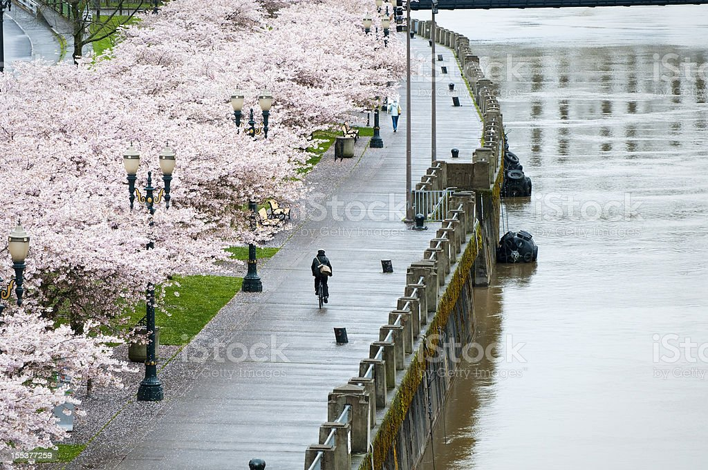 Bicycling past spring blossoms in rainy Portland, Oregon stock photo