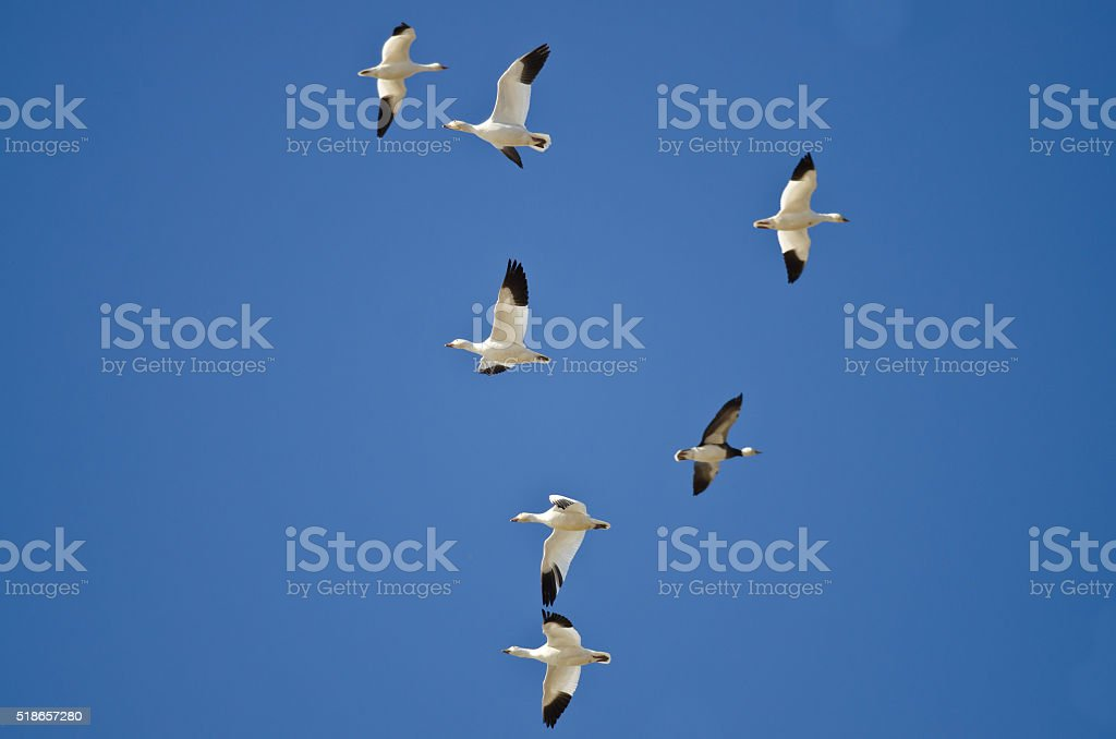 Bi-Directional Snow Geese in Need of an Air Traffic Controller stock photo
