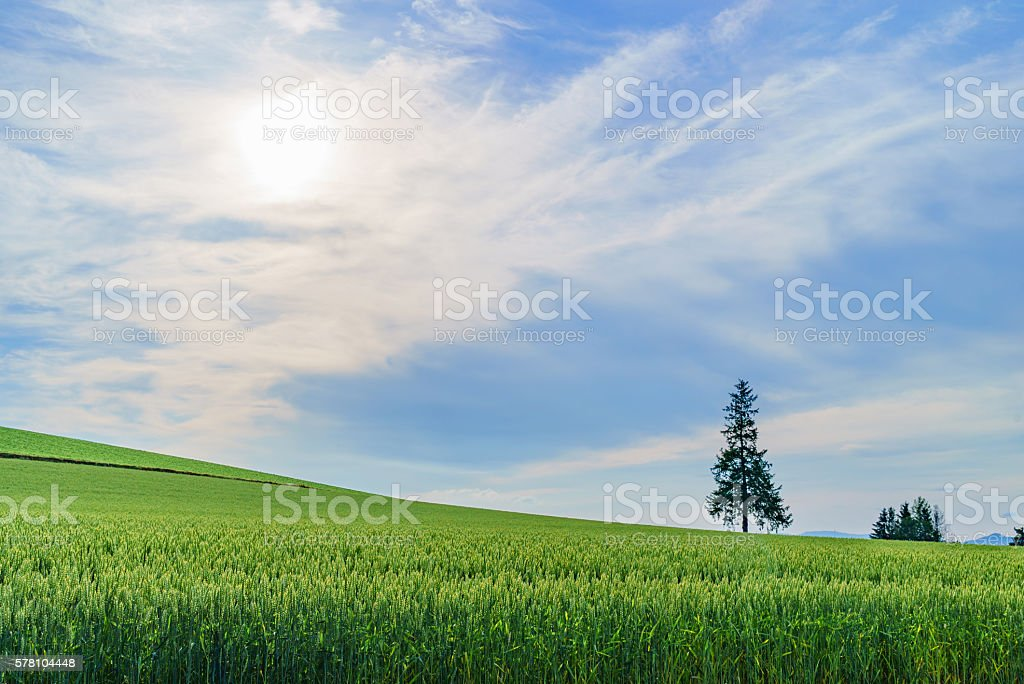 biei hokkaido japan , christmas tree,Famous landmark stock photo