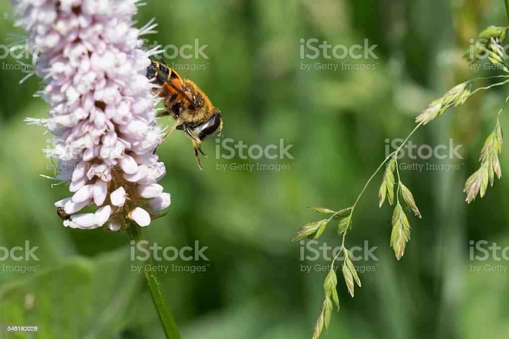 Biene seitlich, Makro - Bee sideways, Macro stock photo