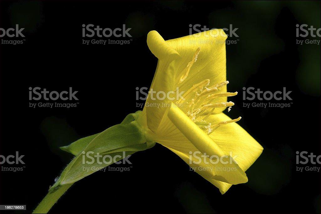 biennis onagracee  parviflora erythrosepala crocifere royalty-free stock photo