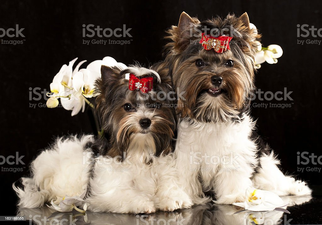 biewer Yorkshire terrier puppies royalty-free stock photo