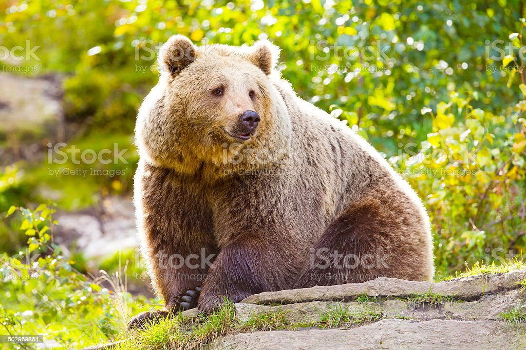 Big adult brown bear sitting in the sunset stock photo
