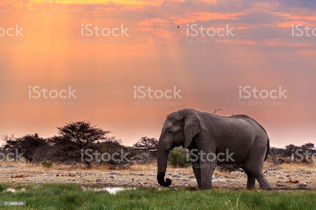 big african elephants in Etosha stock photo