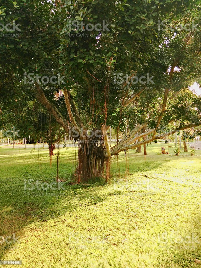 big and old ficus tree in a park stock photo