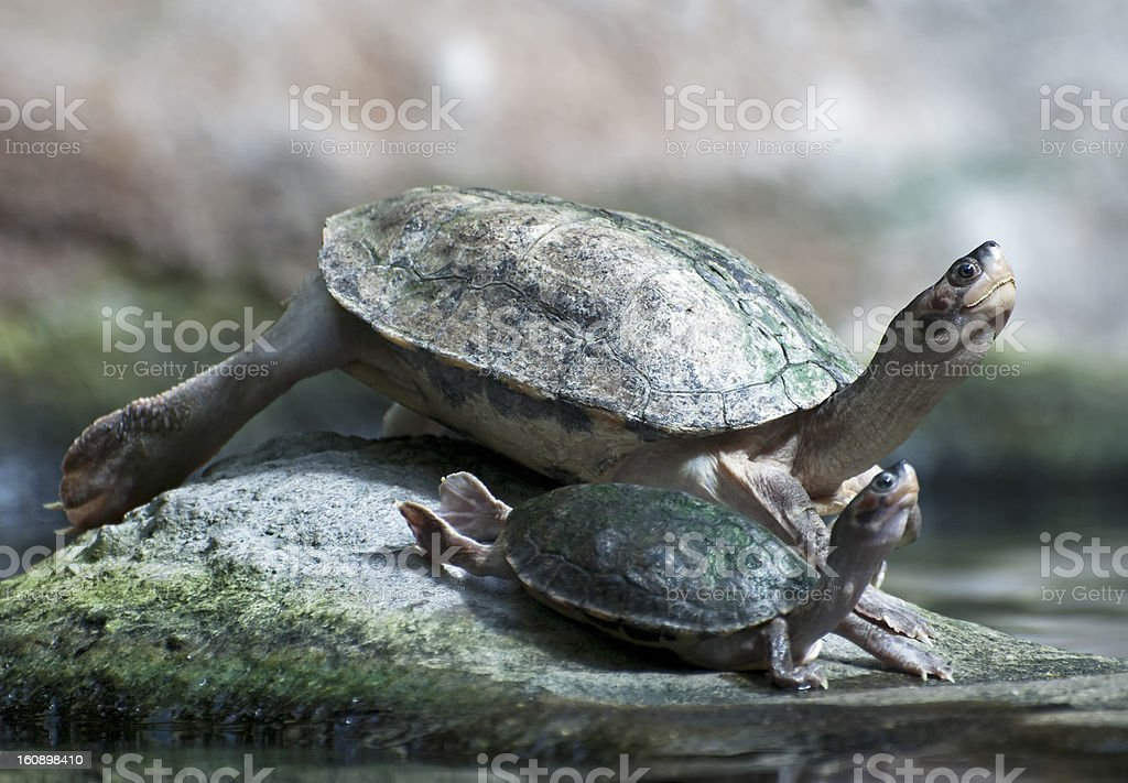 Big and small turtle basking royalty-free stock photo