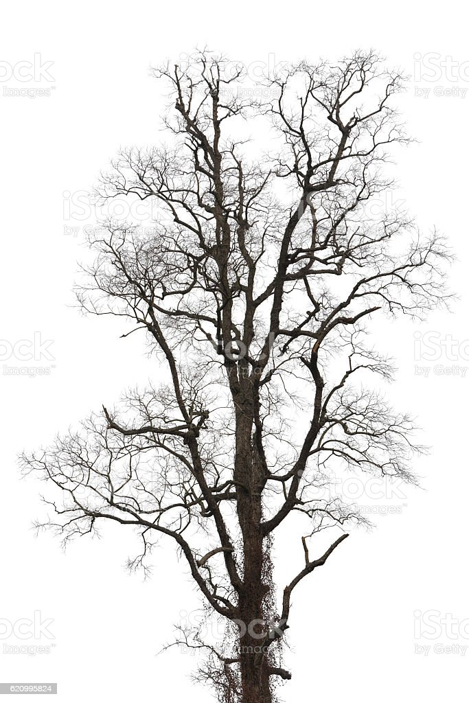 Big and tall tree isolated white stock photo