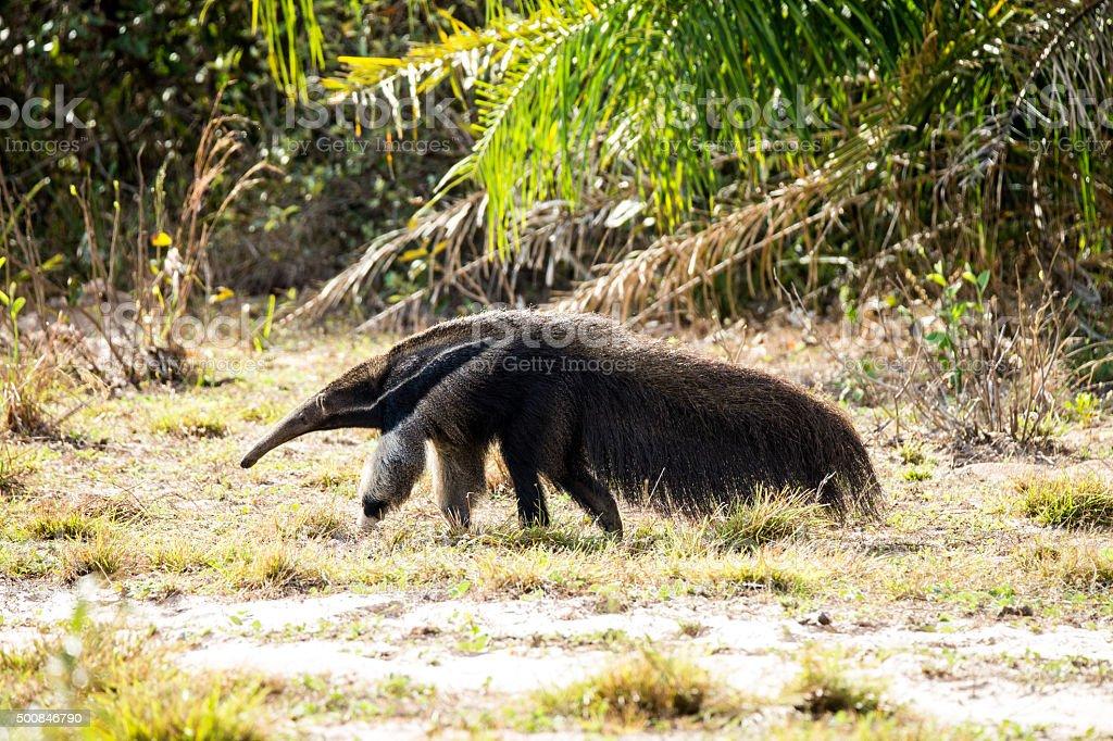 Big anteater in Pantanal Brazil stock photo