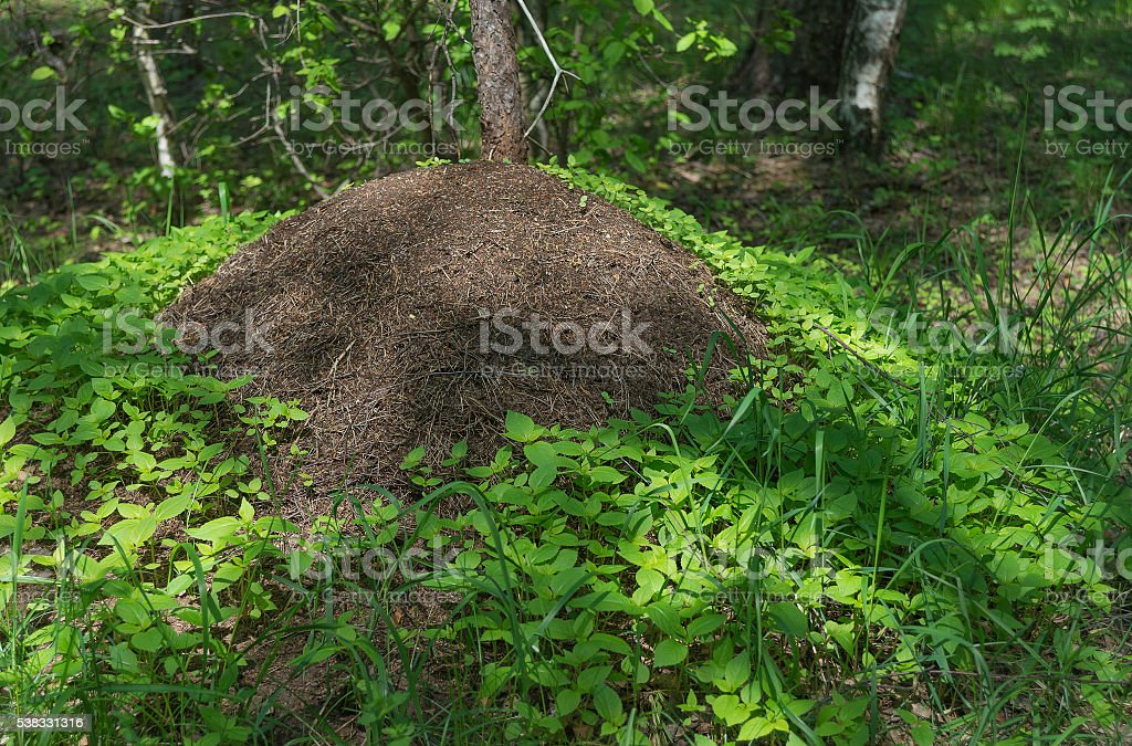 Big anthill in forest stock photo