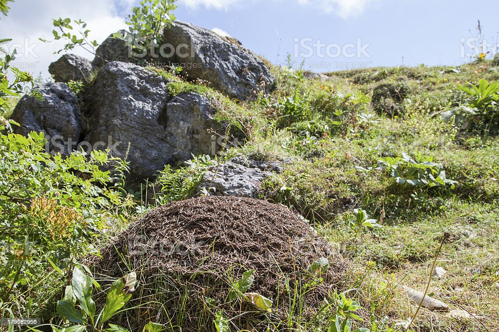 Big anthill in the mountains, close-up stock photo
