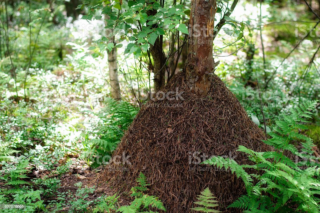 Big anthill in the woods. stock photo