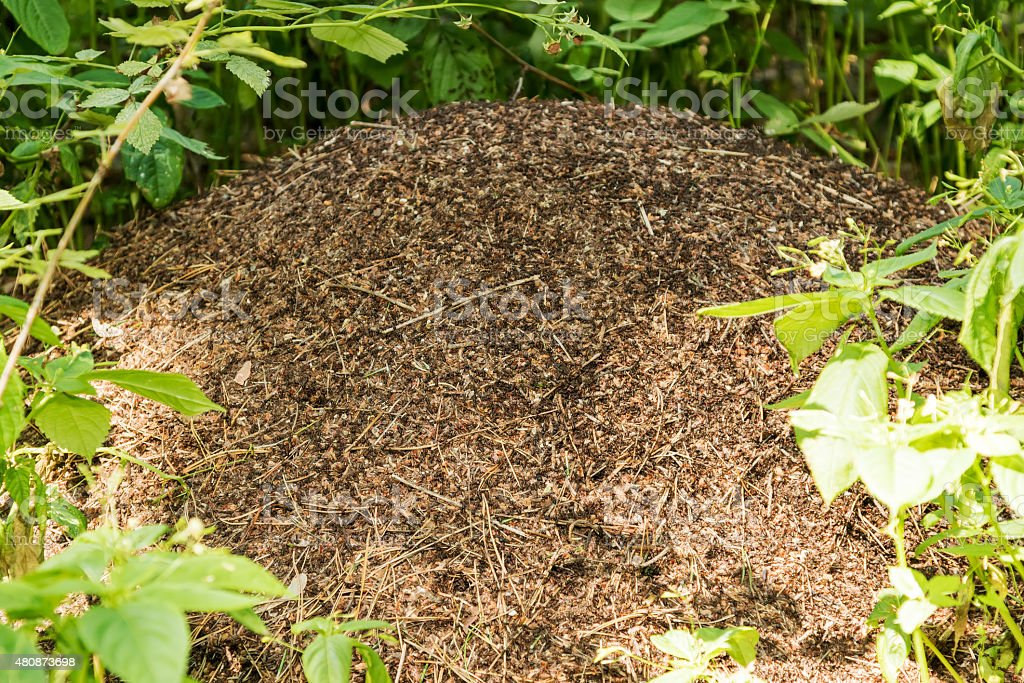 Big anthill with colony of ants stock photo