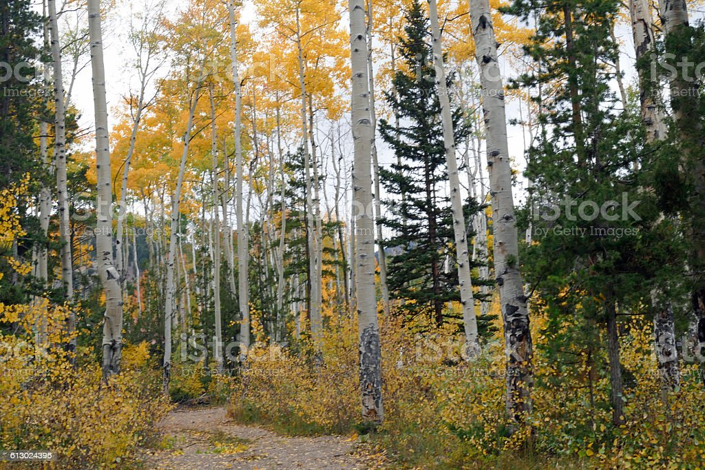 Big Aspen Trees in Monarch Pass Area. CO stock photo