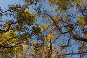 Big autumn oak against the blue sky
