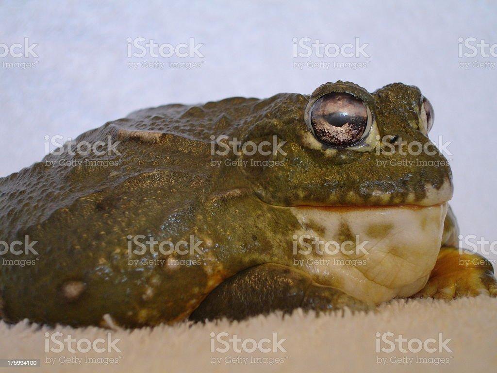Big Bad Bullfrog stock photo