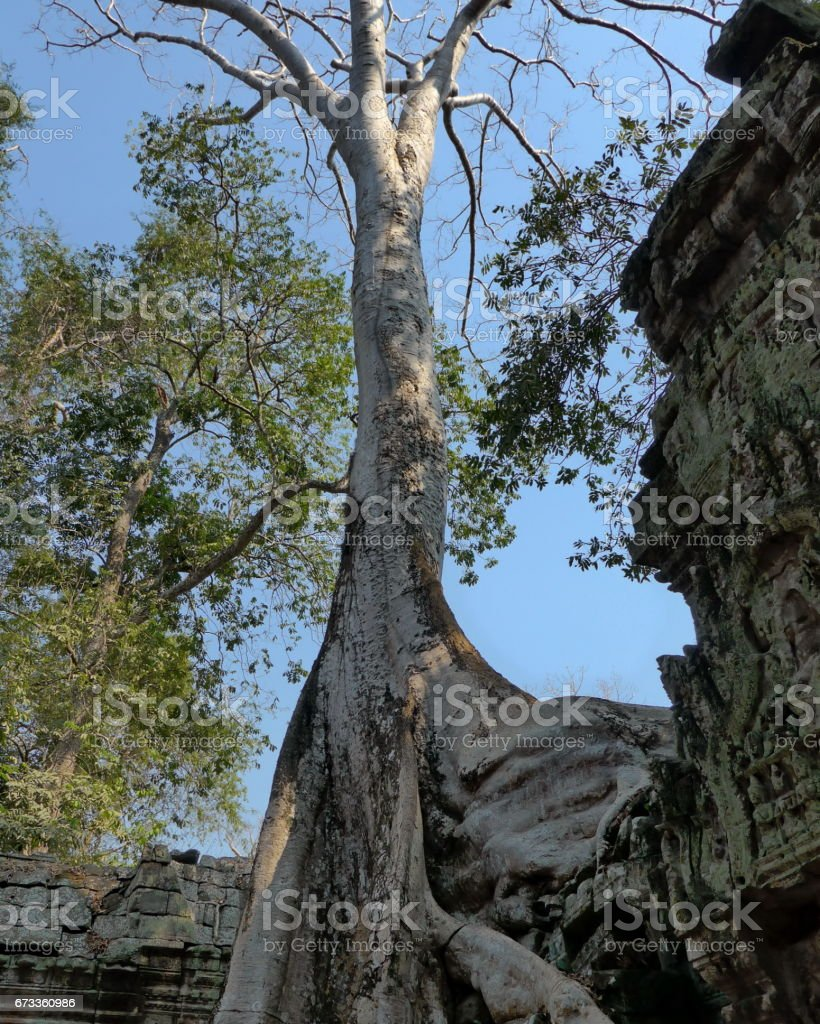 Big Banyan Tree Growing Over Ta Prohm Temple stock photo