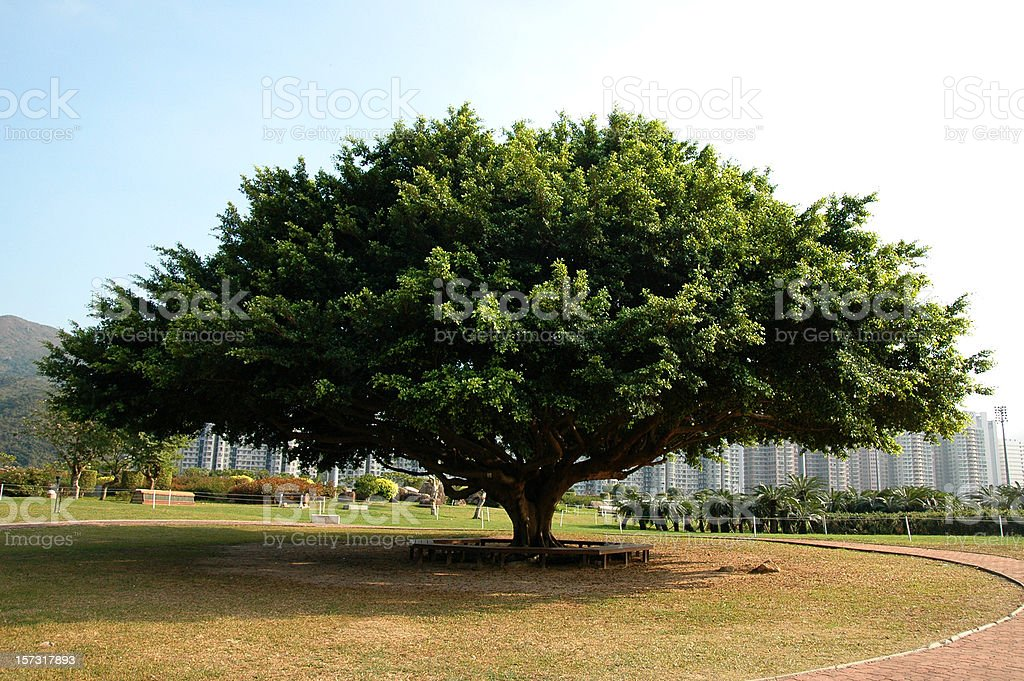 Big Banyan Tree stock photo