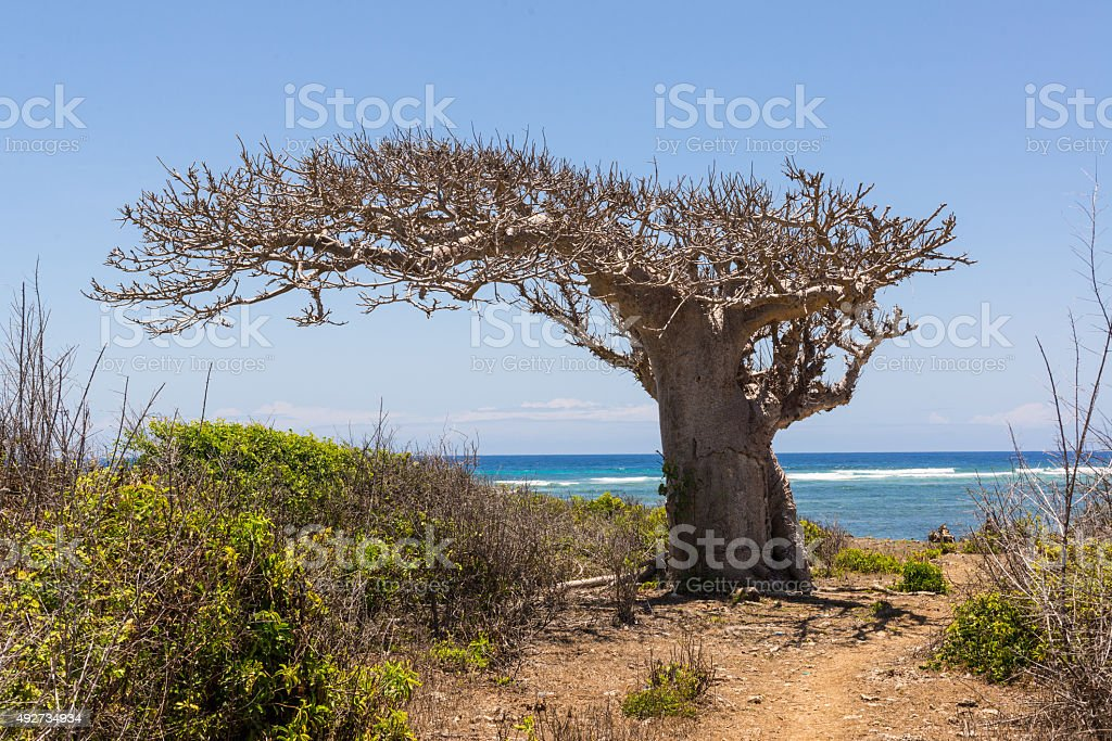 Big baobab tree growing surrounded by bushes stock photo