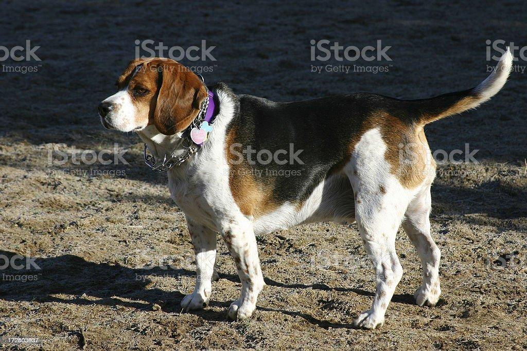 Big Beagle royalty-free stock photo