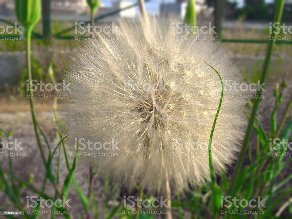 big beautiful dandelion, afraid of the wind stock photo