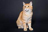 Big, beautiful red cat