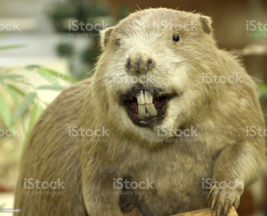 Big Beaver with huge incisors stock photo