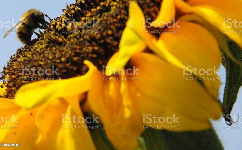Big bee stock photo