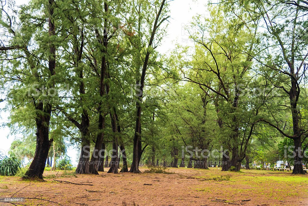 Big Beefwood  forest near the beach on rainy day. stock photo