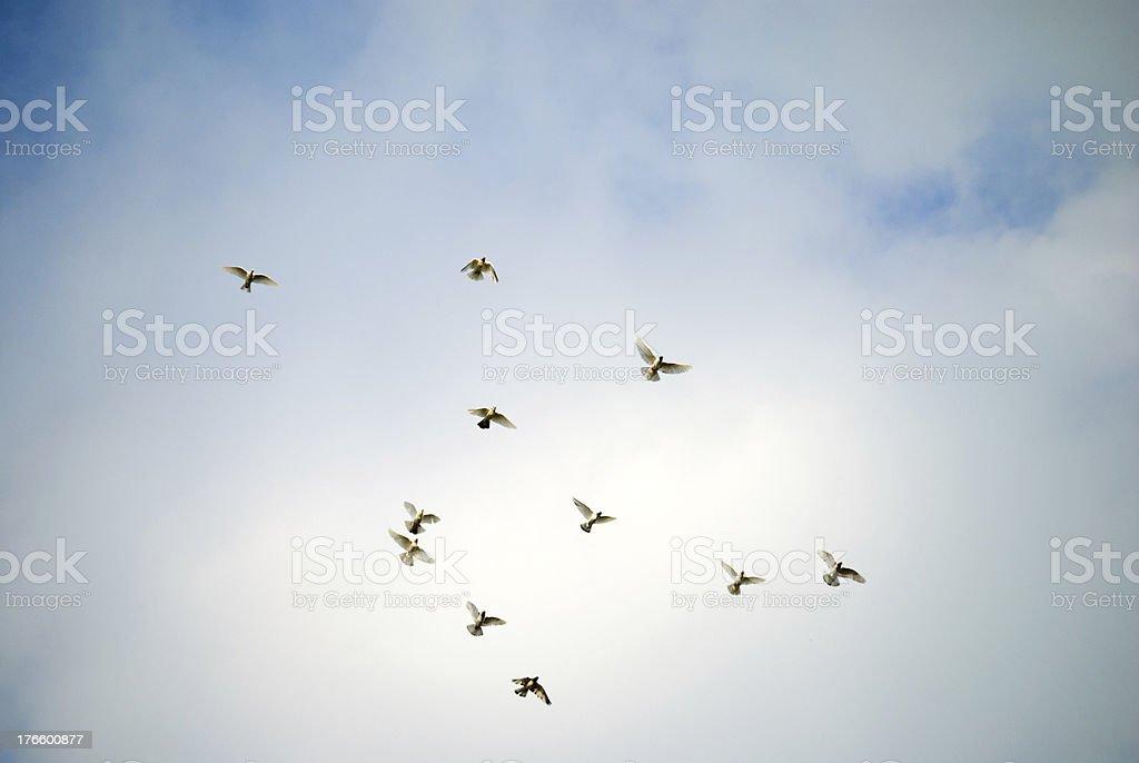 Big bird flock royalty-free stock photo