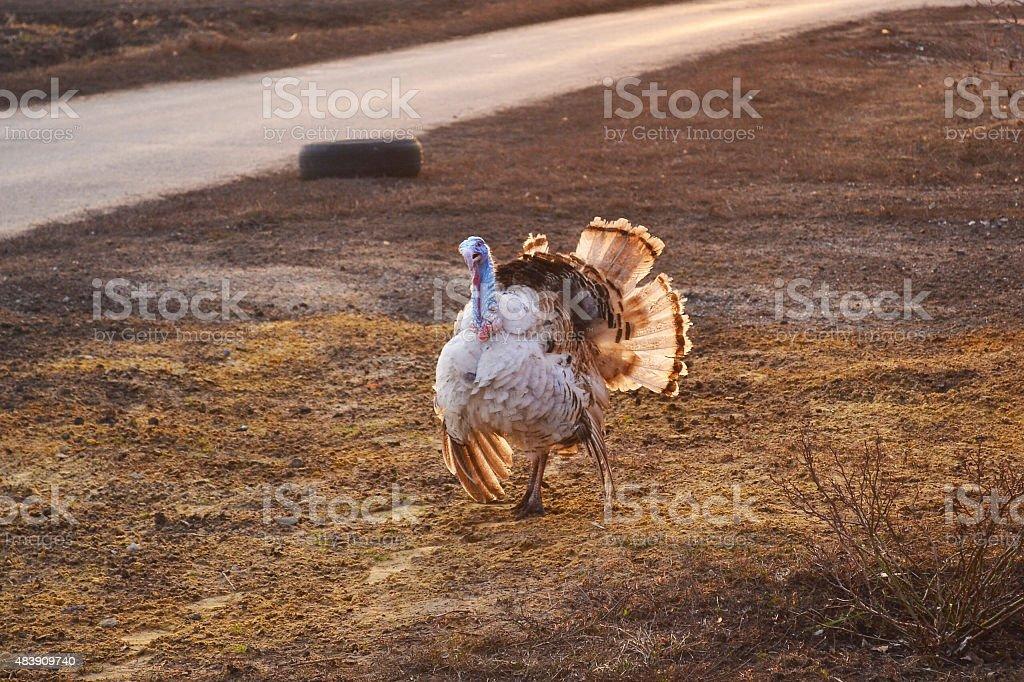Big Bird turkey walking stock photo