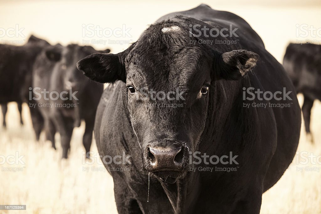 Big Black Angus Bull stock photo