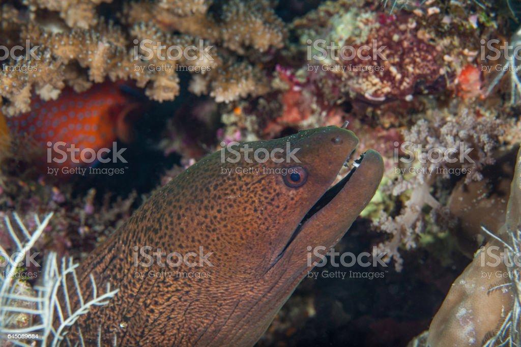 Big black moray close-up. Sipadan island. Celebes sea. Malaysia. stock photo