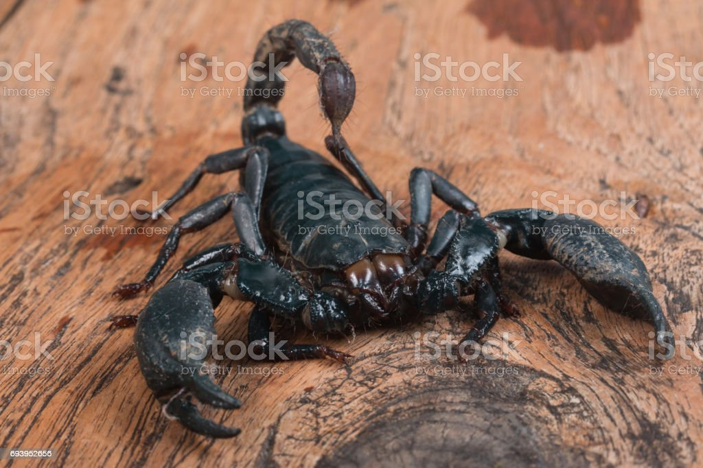 Big black Scorpion stock photo