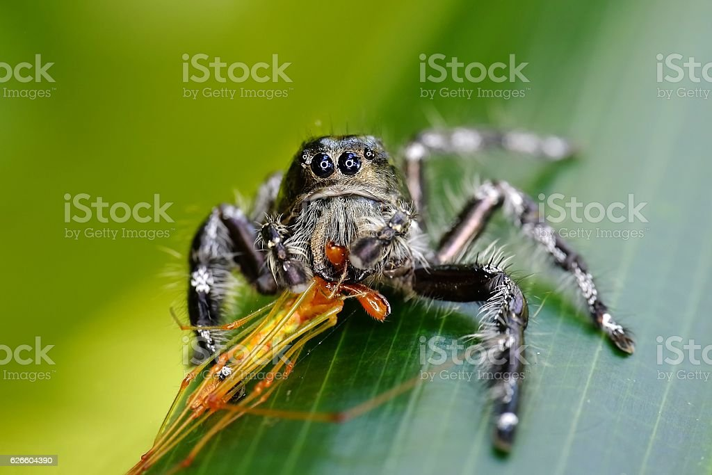 Big black spider on the leaves stock photo