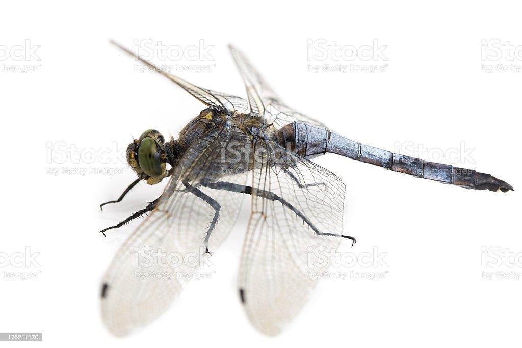 Big blue dragonfly (Libellula depressa) isolated on white stock photo