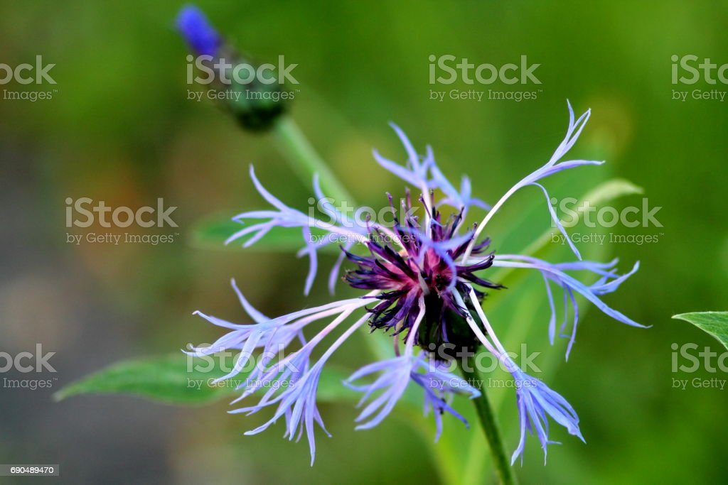 Big blue mountain knapweed flower. stock photo