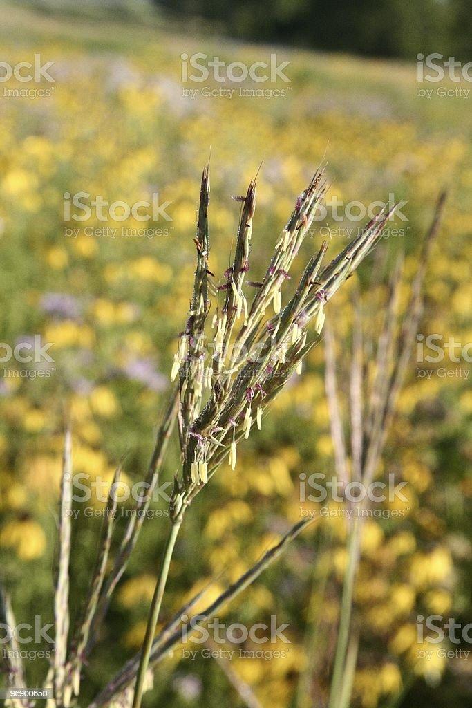 Big Bluestem Grass in Flowering Stage royalty-free stock photo