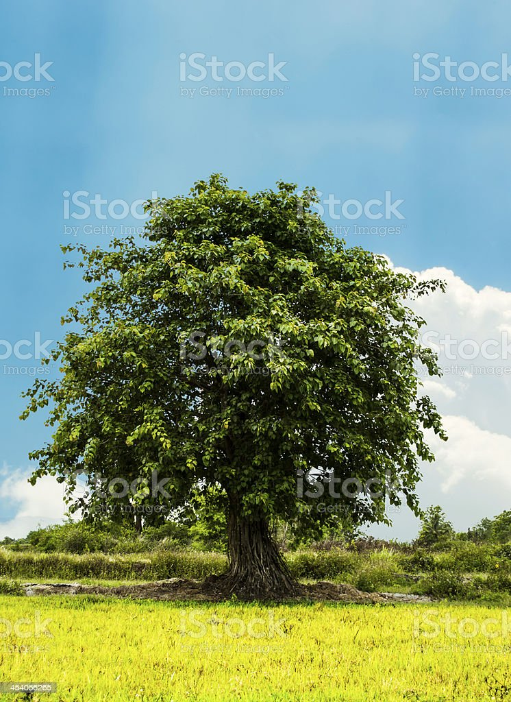 big Bodhi tree royalty-free stock photo