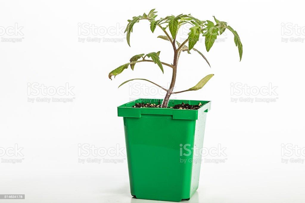 Big Boy Tomato Plant stock photo